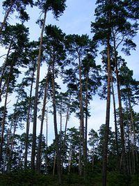 W krajobrazie lasów przeważają drzewa iglaste