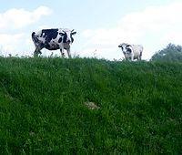 Krowy na wale