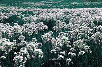 Kwiatowa laka