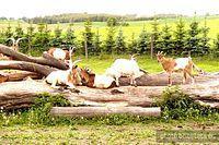 Na terenie zagrody  sa kozy, konie, osiełek, kury oraz odbywają się  pokazy sokolnicze.
