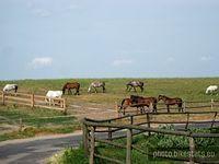 Stado pasących się koni we wsi Buszkówiec.