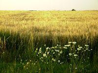 pole i zboża