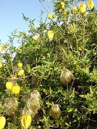 Żółte dzwonko-kwiaty a w nich takie miotły