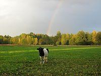 Tęczowa krowa
