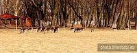 Prywatna hodowla saren i danieli w Radostowie.