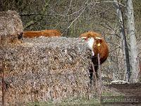 Spojrzenie zza ... krowy na pastwisku tuż przed Plöwen .