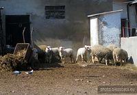 Owce na gospodarstwie w Berkowie