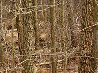 Spłoszyłem dwa duże dziki. Mam nadzieję, że coś widać.