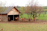 Prywatna hodowla danieli w Ciecholewach.