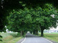 Piękna aleja lipowo-dębowa na drodze Glinnik-Spała
