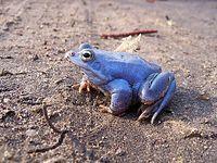 Fioletowa żaba