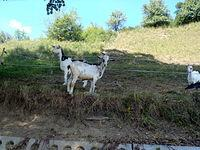 Kozy na łące