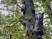 Dziś na drzewie na przedłużeniu ulicy Kochanowskiego zastałem dwie sowy
