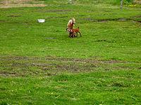 W oddali kozia rodzina ze zwierzęcego kącika w Blankensee