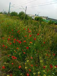 Maki, rumianki i inne polne kwiatki
