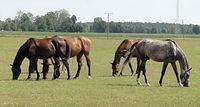 Konie w Wólce Dubowskiej