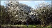 Kwitnące krzewy