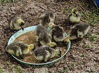 Młode kaczki