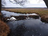 Bobrza tama na Kanale Zaborowskim. Szumi jak mały wodospad