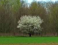 Kwitnący krzew głogu