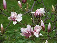 Magnolie wilanowskie