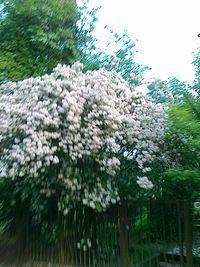 Tak ładnie kwitnace drzewko widziałam dziś na Grotach. Nie wiem, jakie to drzewo, wiem ze ładnie kwitnie