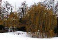 Wierzby w Ogrodzie Saskim