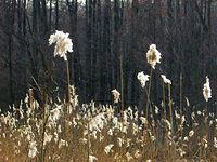 Trzcinowisko w rezerwacie Skarpa Ursynowska