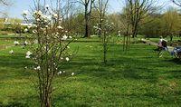 Magnolie na Polu Mokotowskim