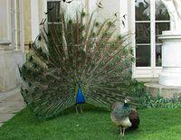 Łazienki Królewskie - paw i jego wybranka