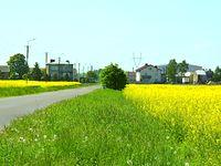 Rzepak - bardzo lubię żółte rośliny :)