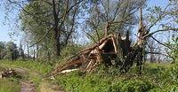 Powalone drzewo na odcinku Gatow-Schwedt