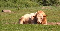 Krowa z Plöwen
