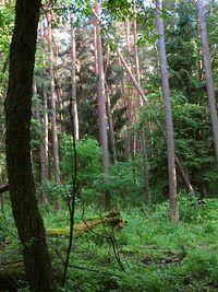 Park Krajobrazowy Puszcza Zielonka - las w Uroczysku Maruszka