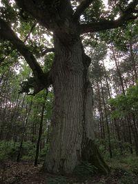 Król lasu - dąb szypułkowy w Uroczysku Maruszka