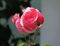 Róża z Puszczyka