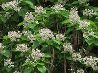 Kwiaty katalpy