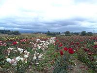 Róże w Rudniku