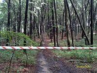 Segiet, kilka drzew niebezpiecznie się przechyla