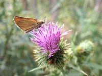 Motyl na oście