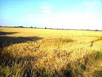 Żuławy to jeden z ważniejszych spichlerzy polskich- słoneczna pogoda sprzyjała intensywnym żniwom. Kombajny jeździły po polach do późnej nocy