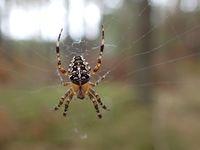 Leśny pajączek