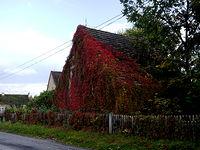 Jesienny winobluszcz