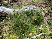 Trawy leśne