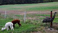 Alpaki i strus w Grzędzicach