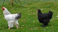 Kury w Obrycie