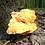 Świeże Żółciaki siarkowe w Lasku Aniołowskim