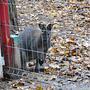 Kangurek przygląda się z za płotu :)